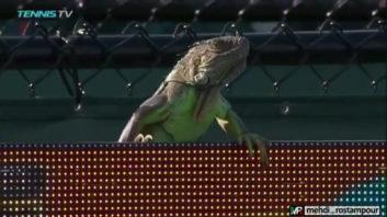 اختلال در بازی تنیس تامی هاس در میامی به خاطر ایگوانای