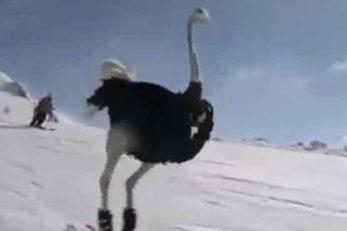 کلیپی جالب و پربازدید از اسکی بازی شتر مرغ ها روی برف