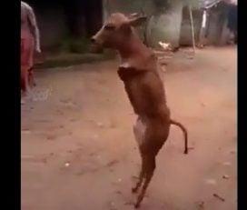 گوساله ورزشکار که روی دو پا راه می رود!