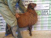 خرید گوسفند زنده ؛ با دام کالا ، حتی خرید گوسفند زنده ، اینترنتی شد !!